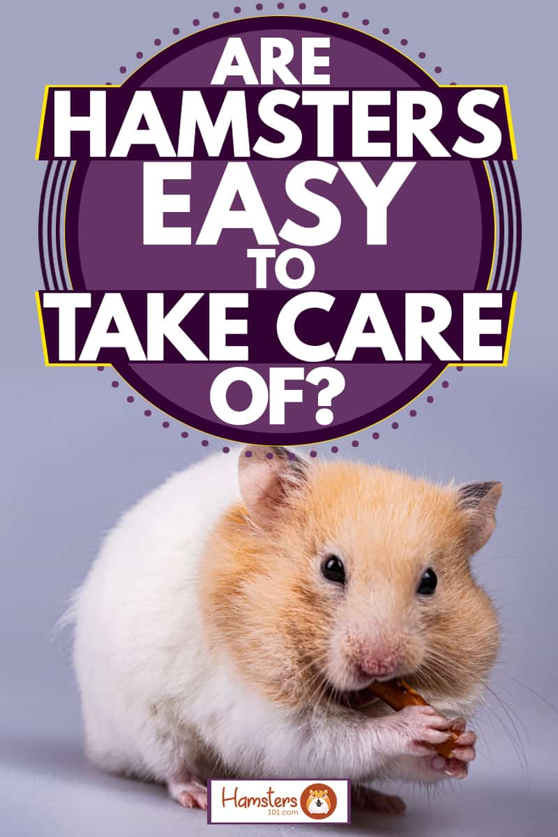 A cute Syrian hamster eating his treat while staring at the camera while on a white opaque violet background, Are Hamsters Easy To Take Care Of?