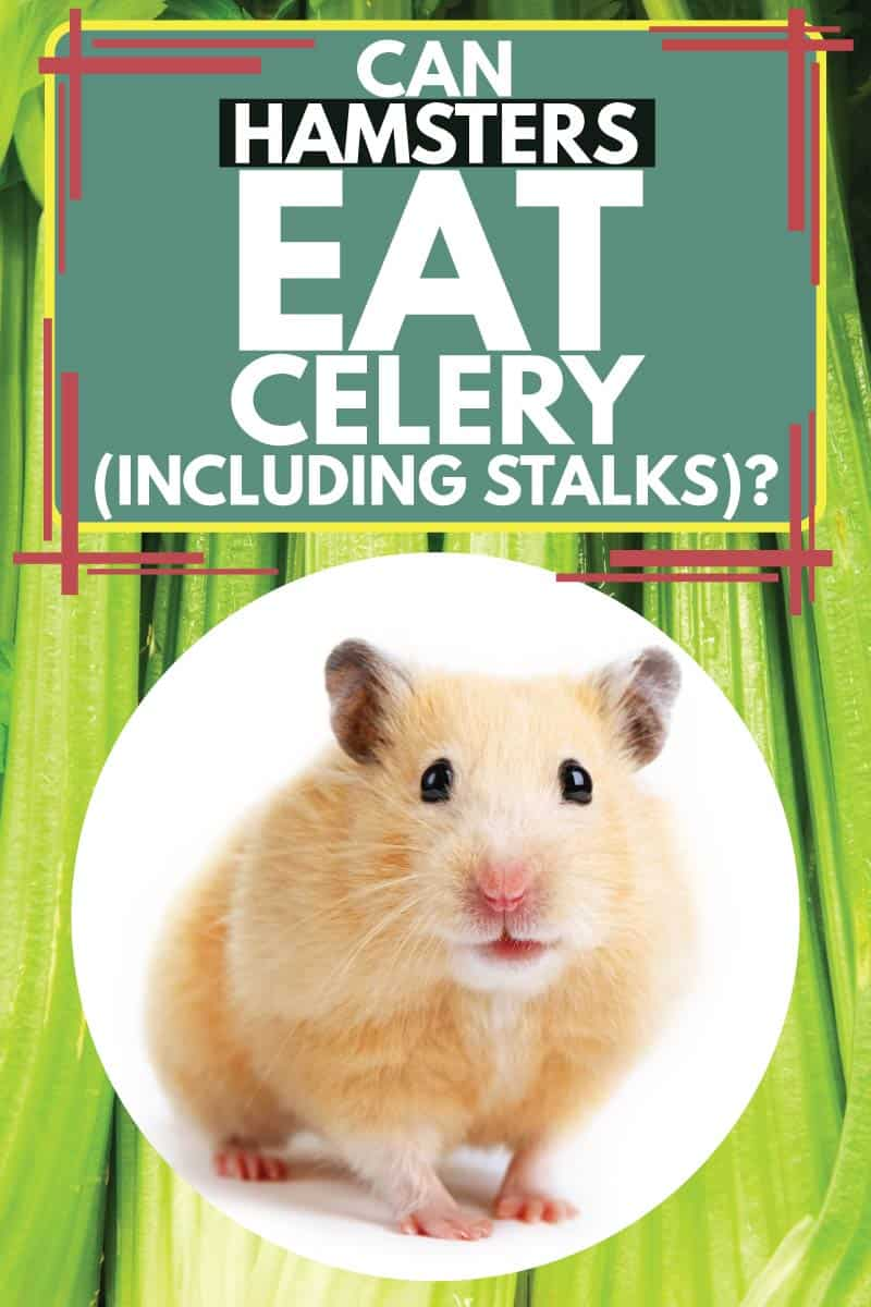 Hamster looking at camera with celery in the background, Can Hamsters Eat Celery (Including Stalks)