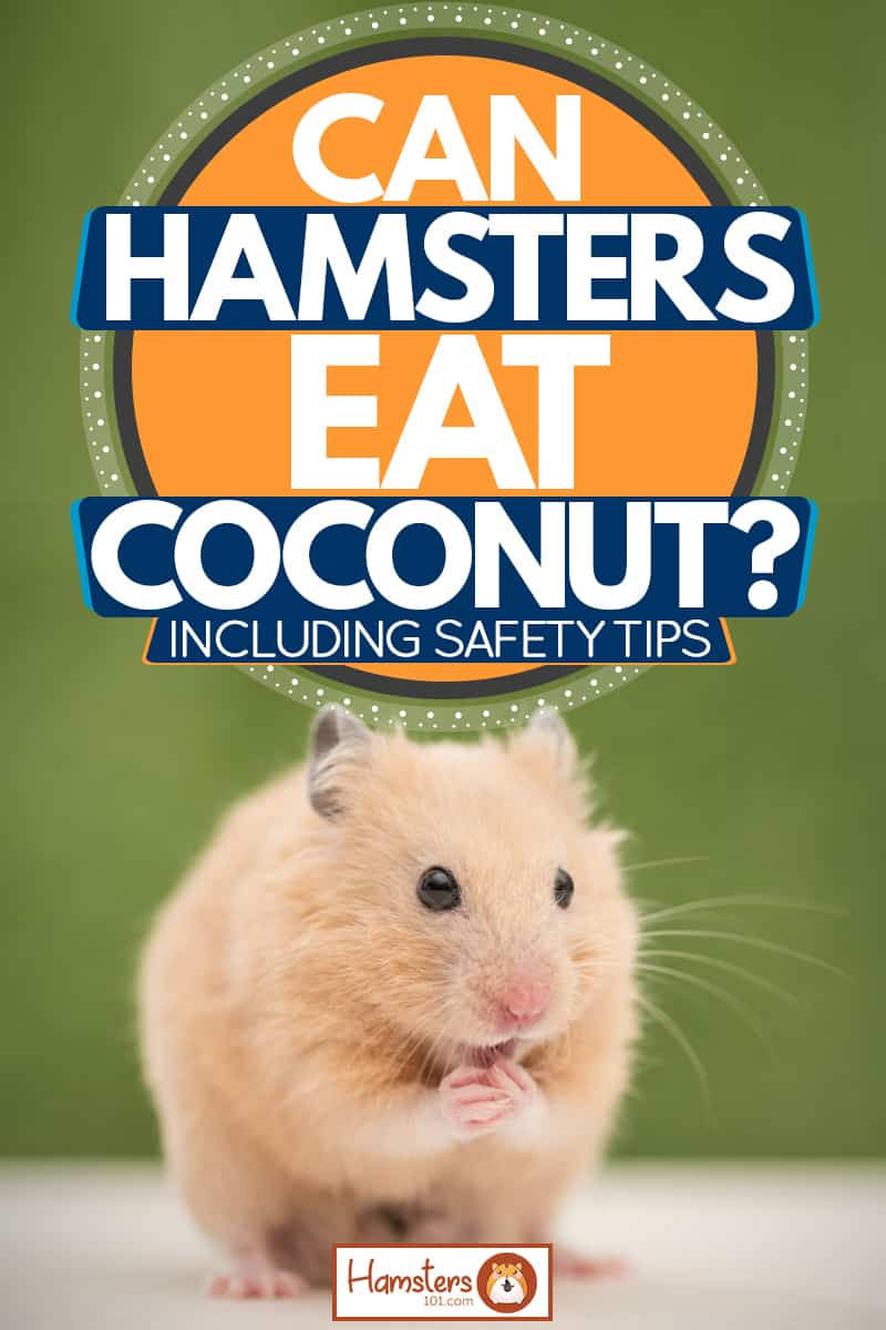 A cute golden hamster sitting on a wooden table, Can Hamsters Eat Coconut? [Inc. Safety Tips]