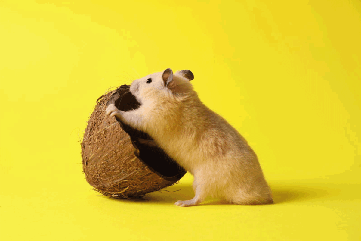 Cute Syrian hamster with coconut peel on yellow background. Can Hamsters Eat Coconut [Inc. Safety Tips]