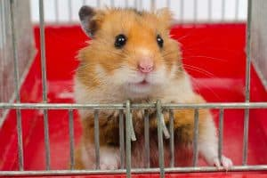 Cute funny Syrian hamster looking out of the cage, 8 Awesome Hamster Cage Cleaning Tips