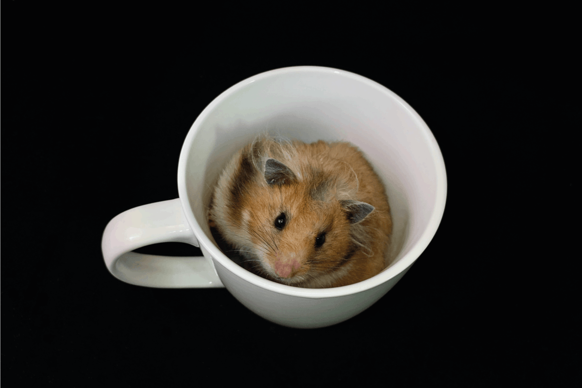 Fluffy hamster in a white cup, on a black background. The rodent is sitting in a glass