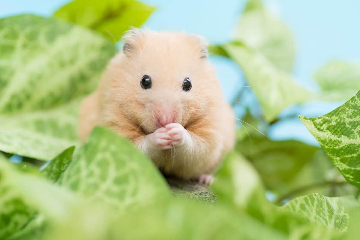 Golden Hamster and green leaves