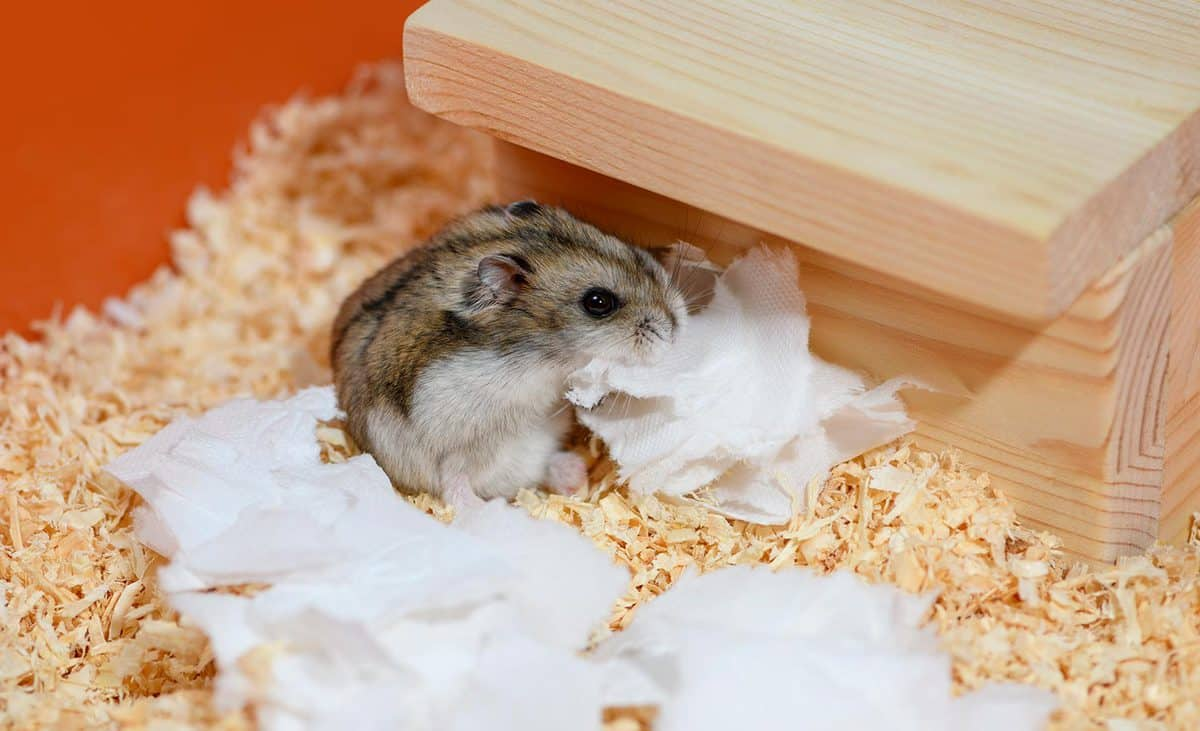 Hamster with the piece of paper in its mouth is sitting next to the wooden house in the cage