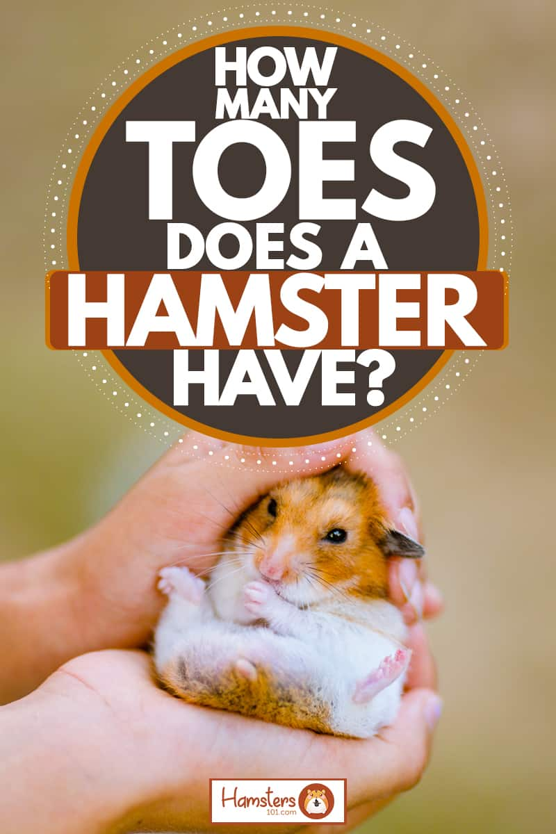 A woman holding a young Syrian hamster on her hands, How Many Toes Does A Hamster Have?