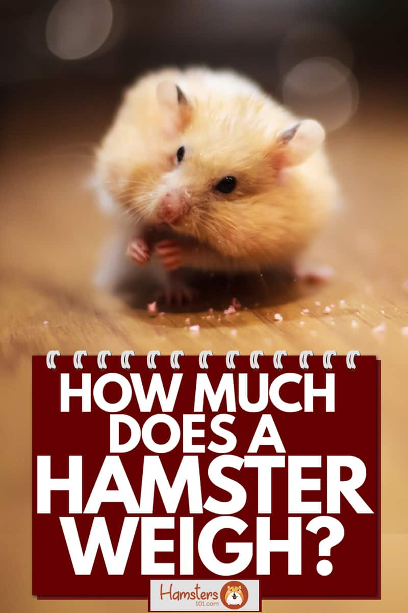 A cute hamster eating his treat on a wooden table, How Much Does A Hamster Weigh?