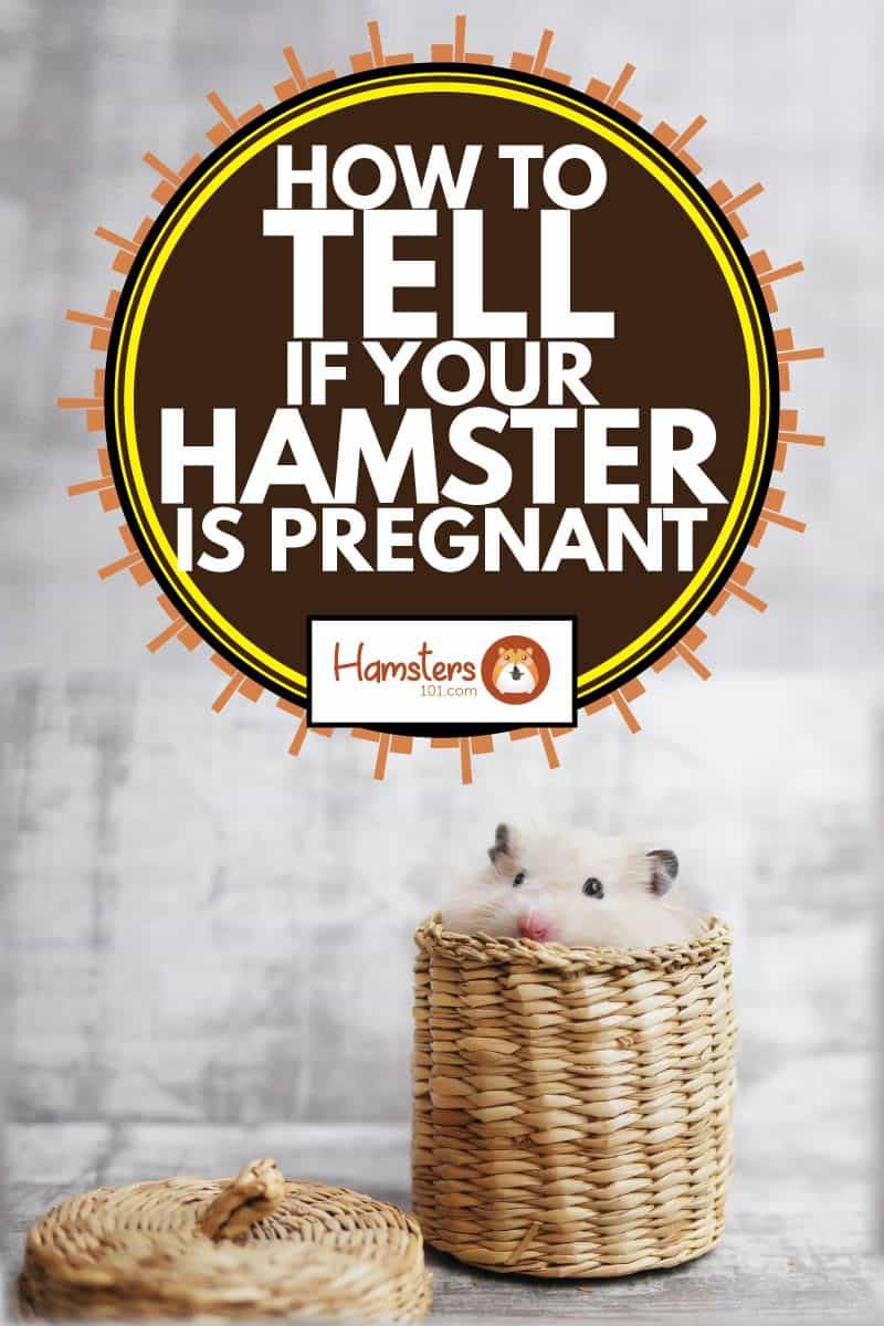hamster looks out of a wicker basket, how to tell if your hamster is pregnant