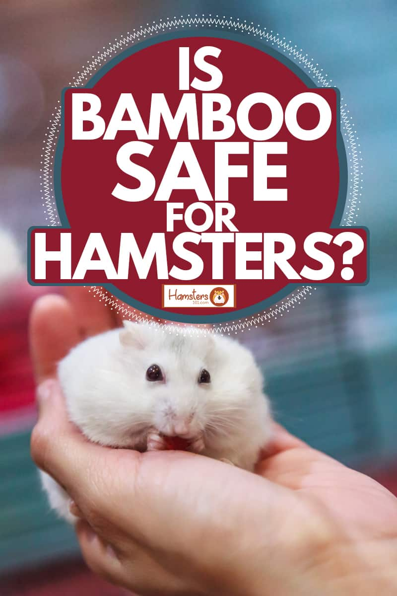 A cute winter white hamster lying on the palms of his owner, Is Bamboo Safe For Hamsters?