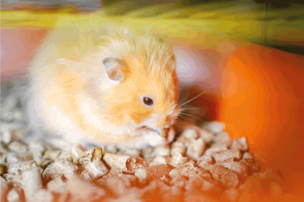 Red hamster in a cage. Rodent care at home
