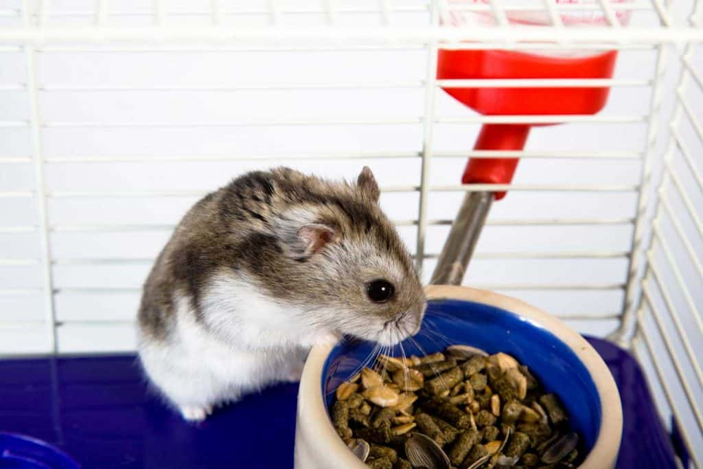Small hamster feeding on the cage