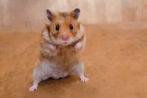 Syrian hamster standing on its hind legs as if getting ready to fight, Are Hamsters Territorial? [What Owners Need To Know]