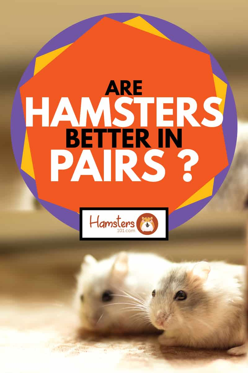 a pair of small Hamster Jungar, are hamsters better in pairs