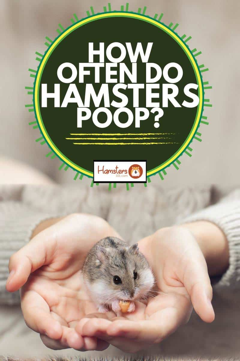 child holds in his hands a hamster, how often do hamsters poop