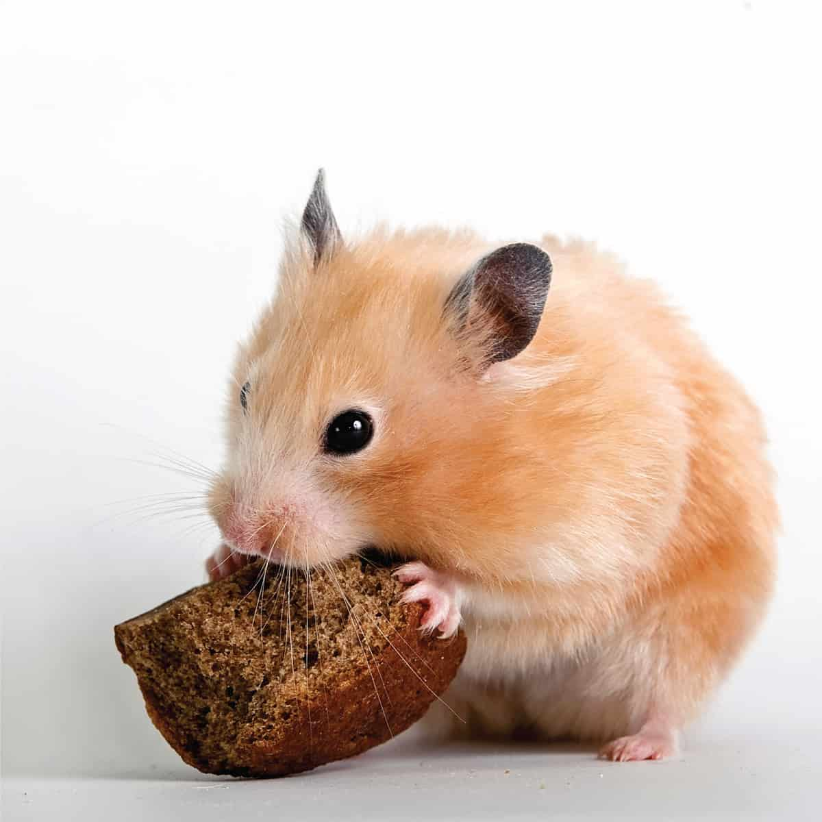 Beige hamster nibbling a bread crust on a white background