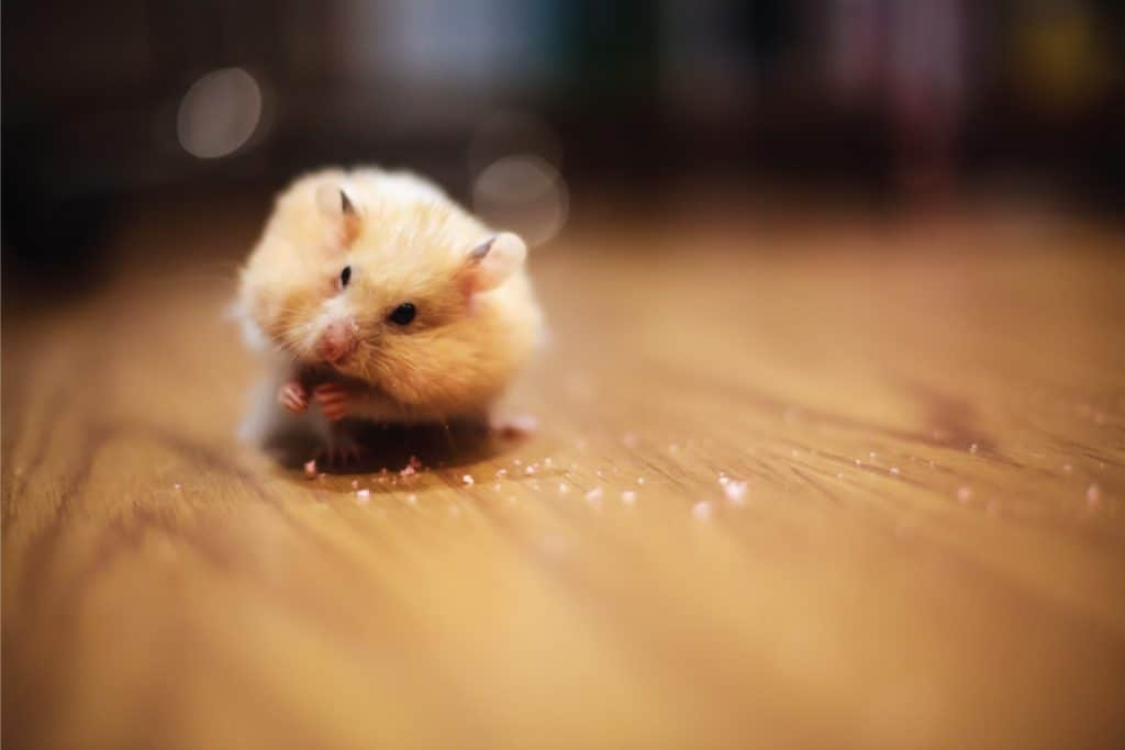 Cute orange and white Syrian or golden hamster (Mesocricetus Auratus) keeping food in elongated spacious cheek pouches