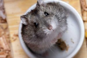 Can You Safely Feed Mealworms to Hamsters?