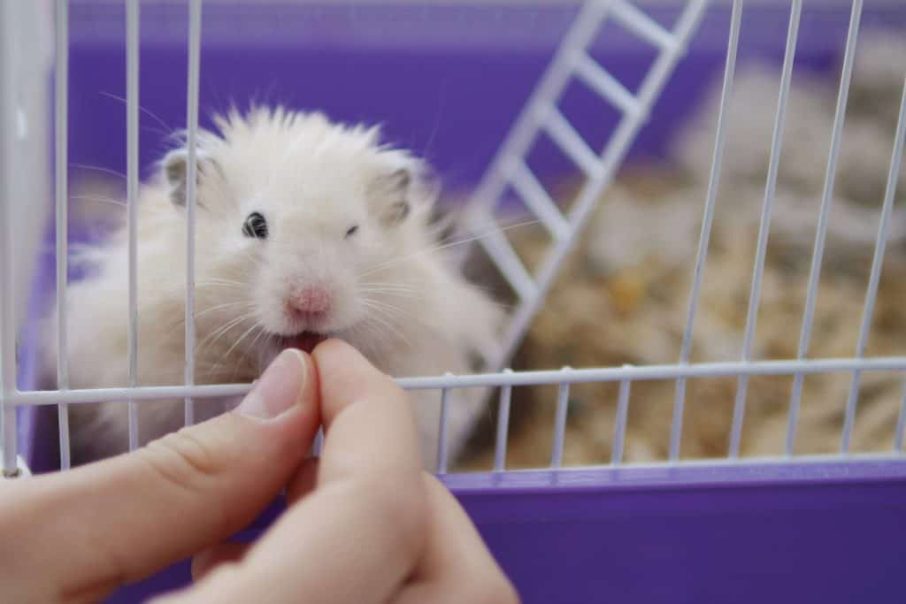 Small hamster eating food from hands of owner