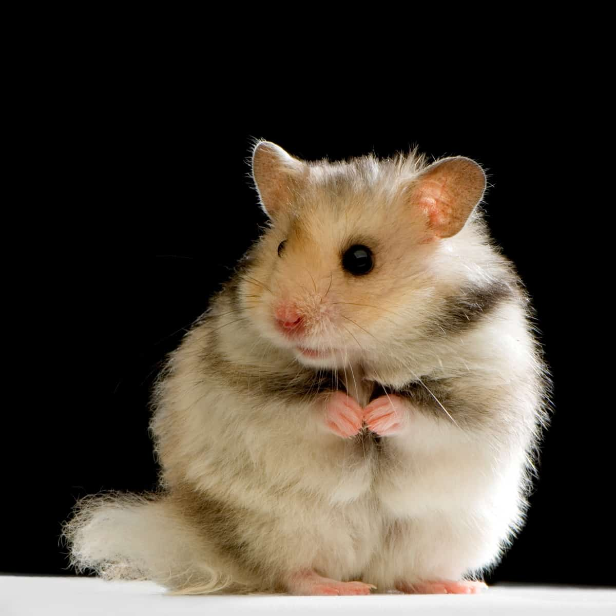 light colored hamster standing in the light with black background