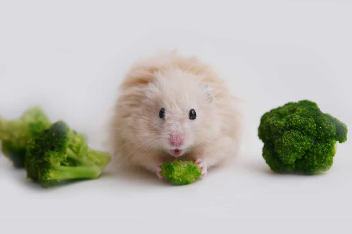 A cute hamster eating a piece of broccoli on a white background