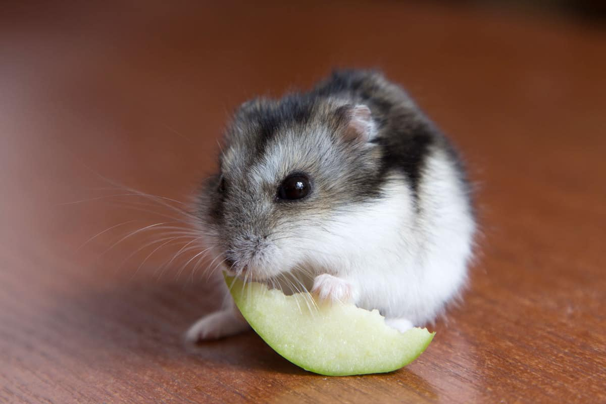 A cute hamster eating a sliced piece of apple on the floor