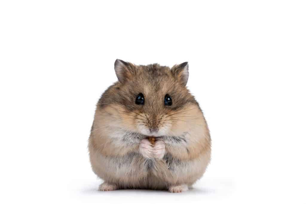 A little hamster eating a mealworm on a white background