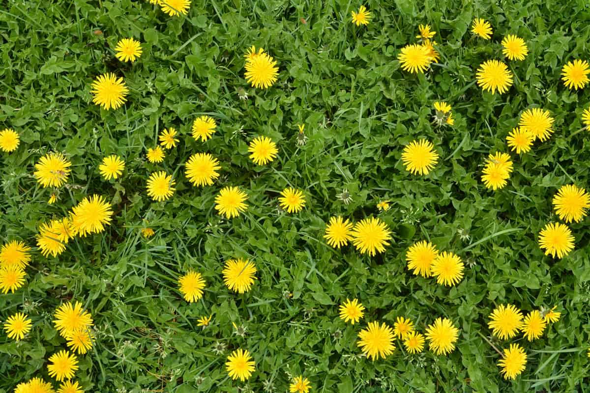 A lot of blooming dandelion flowers in green grass