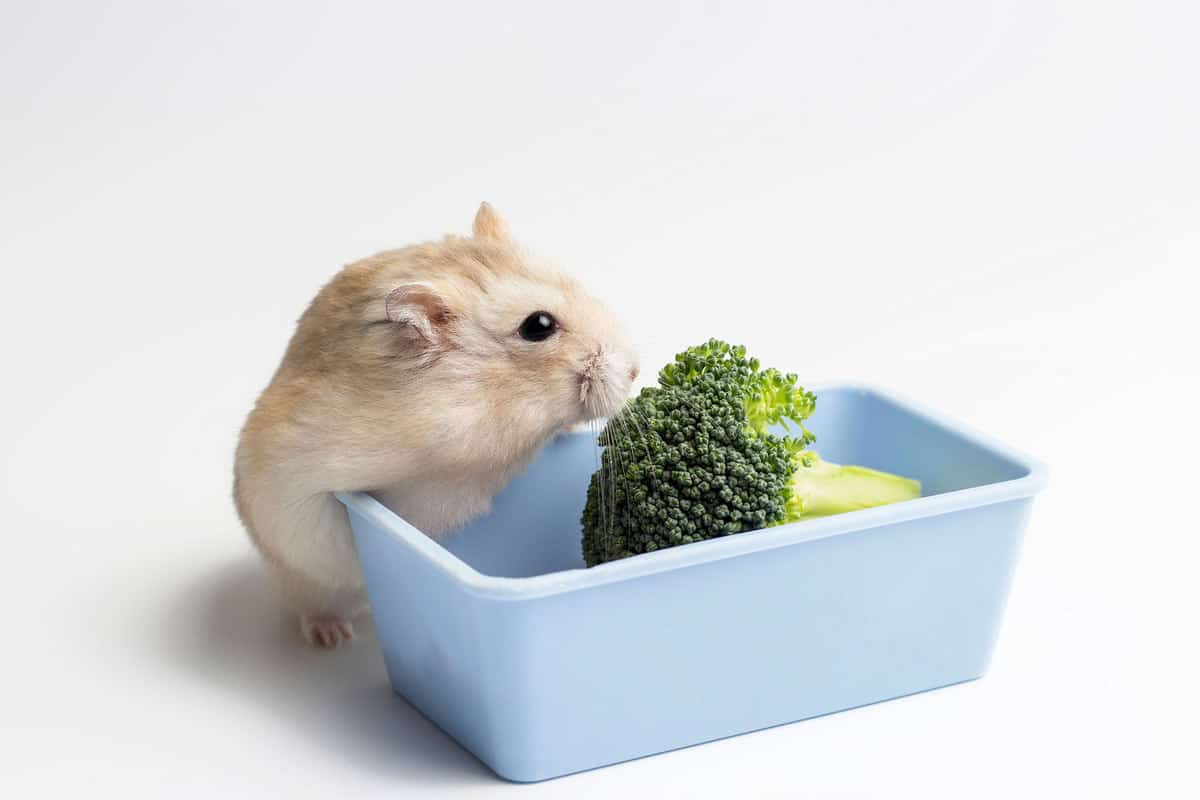 A small cute hamster eating a piece of broccoli on a blue container