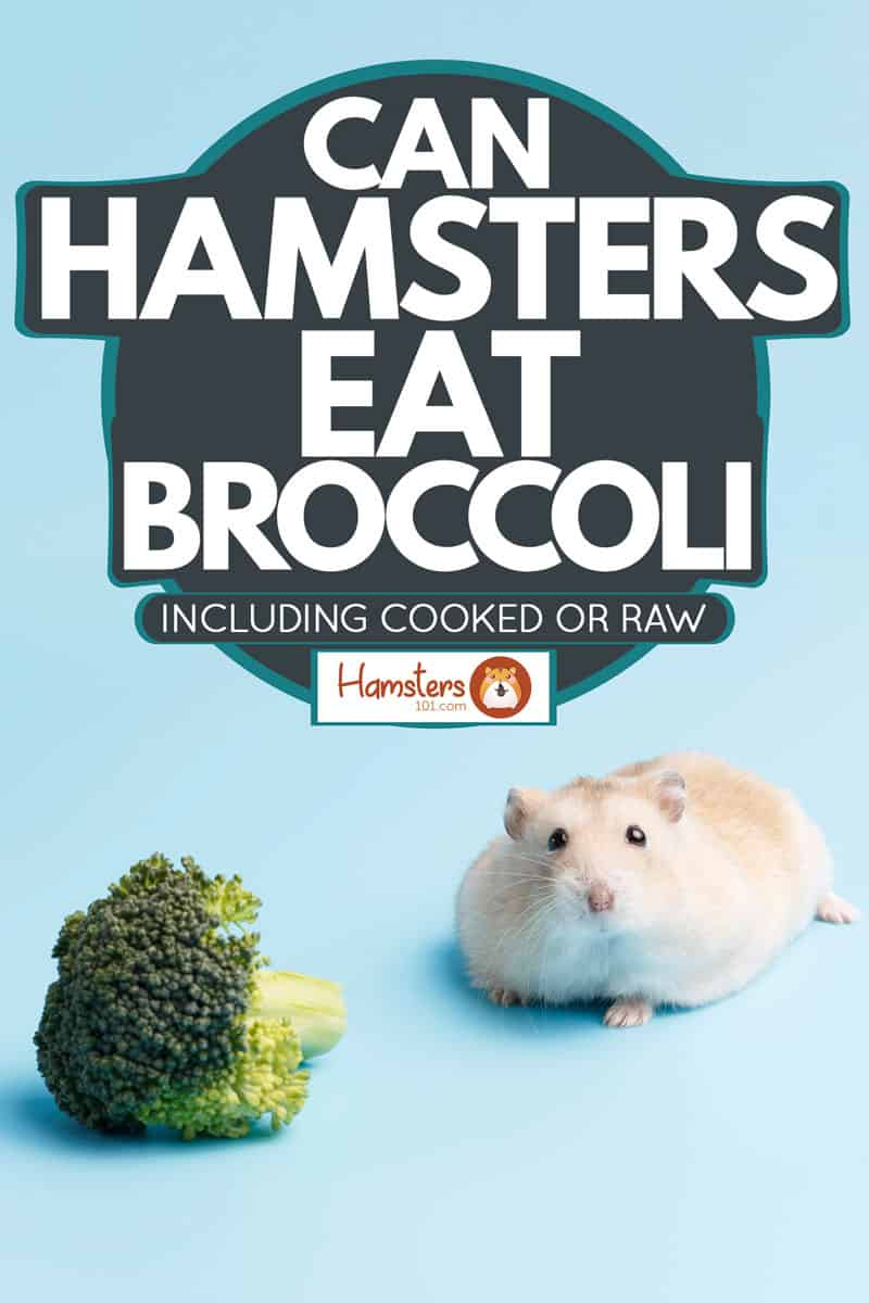 A cute hamster lying down after eating a lot of broccoli, Can Hamsters Eat Broccoli [Inc. Cooked or Raw]