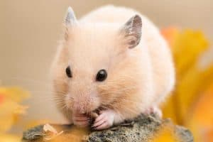 How Long Do Syrian (Teddy Bear) Hamsters Live?