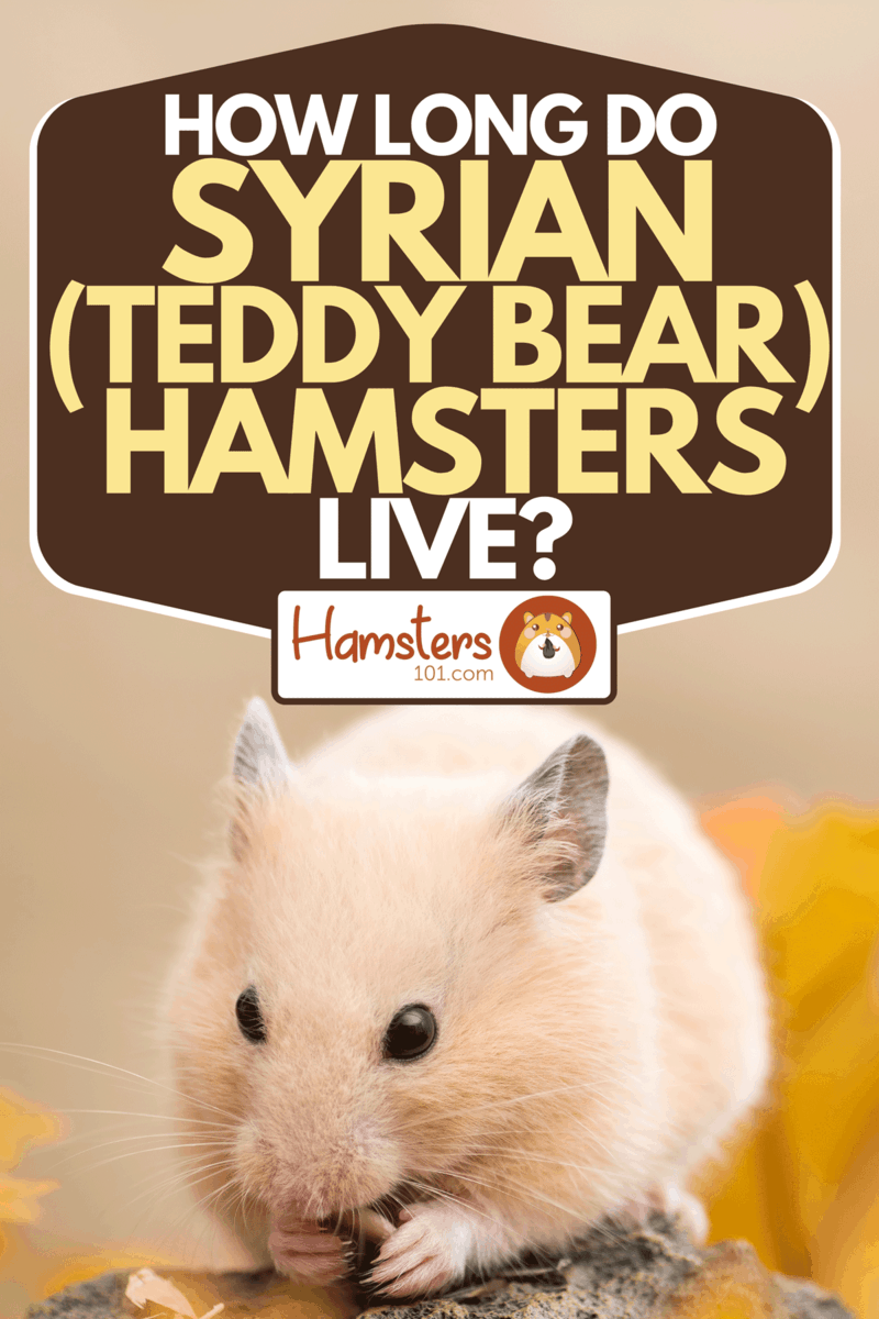 Golden hamster eating sunflower seed and fallen leaves, How Long Do Syrian (Teddy Bear) Hamsters Live?