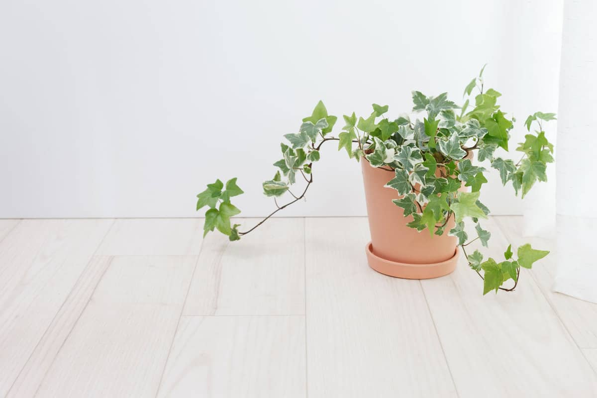 Ivy pots in the room