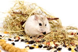 Jungar hamster on a white background of dry grass and nuts, Can Hamsters Eat Spider Plants?