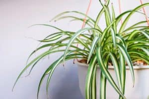 Read more about the article Can Hamsters Eat Spider Plants?