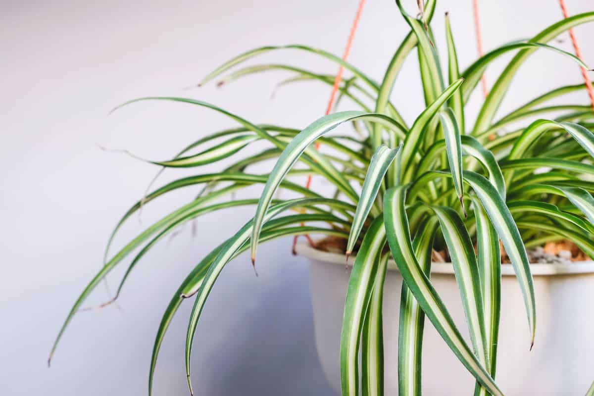Spider plant in white pot at balcony