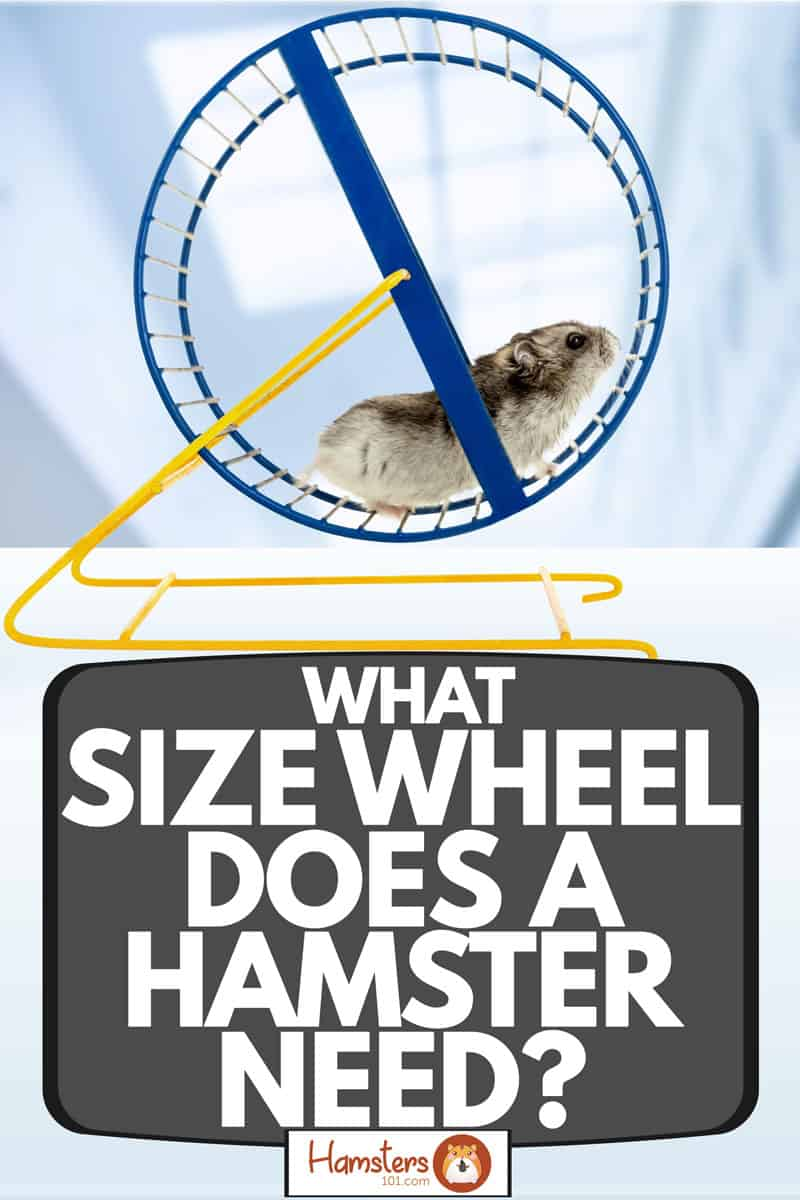 A hamster running on his blue running wheel, What Size Wheel Does a Hamster Need?