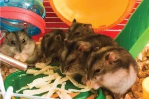 Little fluffy Dzungarian hamsters eating vegetable peels, How Often To Give Your Hamster Fruit And Vegetables?