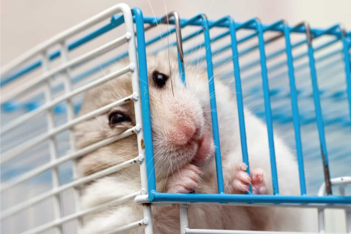 Syrian hamster chewing on the cage