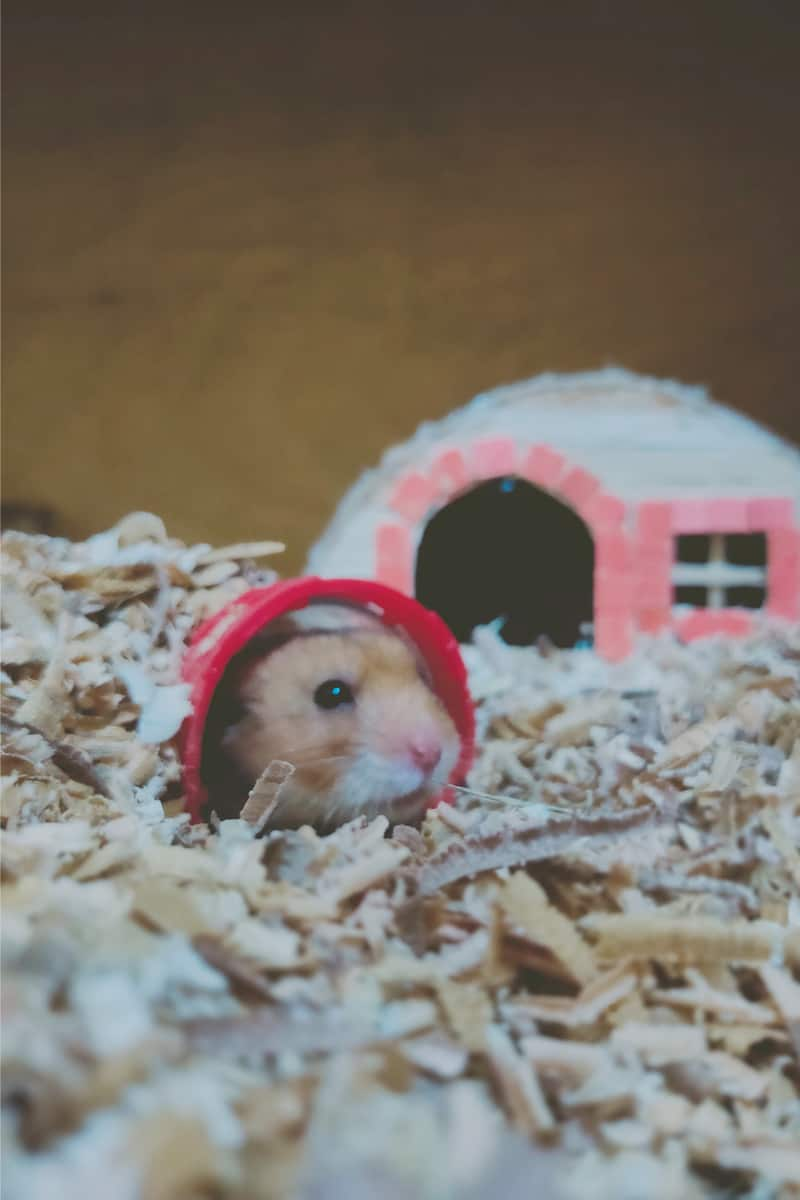 Syrian Hamster in its lovely tunnel showing face