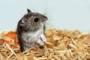 Read more about the article My Hamster Doesn't Like Chew Toys – What To Do?