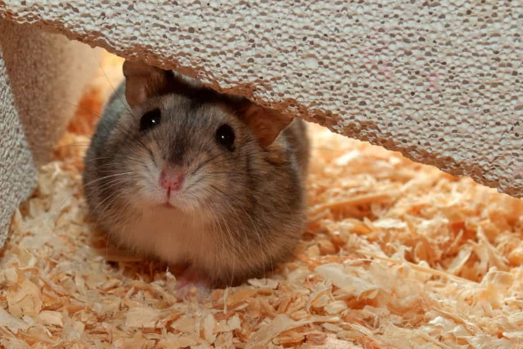 A cute little hamster hiding on the side of the cage