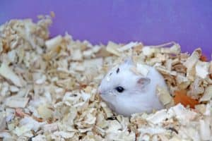 Read more about the article Hamster Huddled In Corner – What To Do?