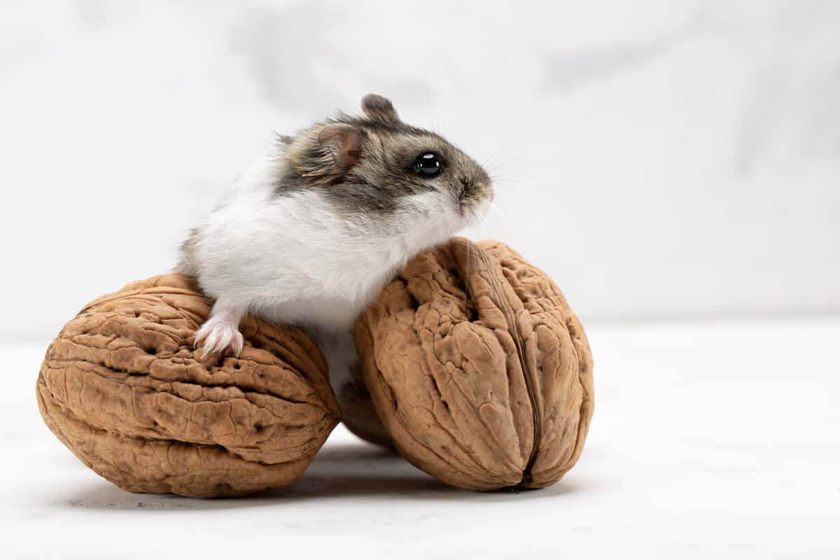 A cute little hamster standing on two wall nuts on a white background