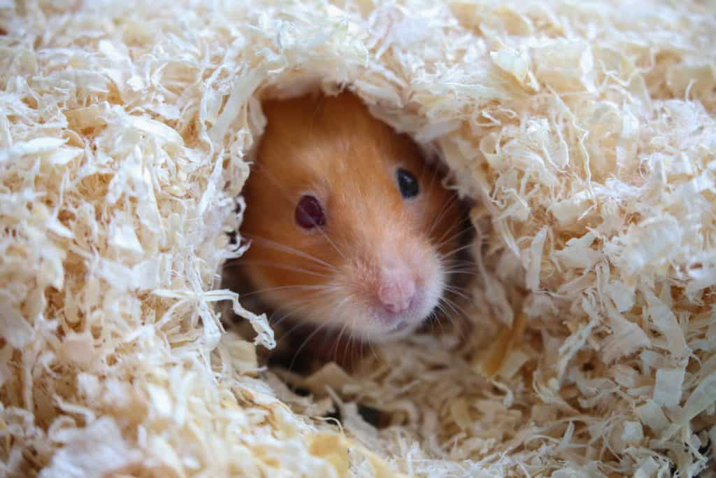 A hamster hiding in his little hole made out of saw dust