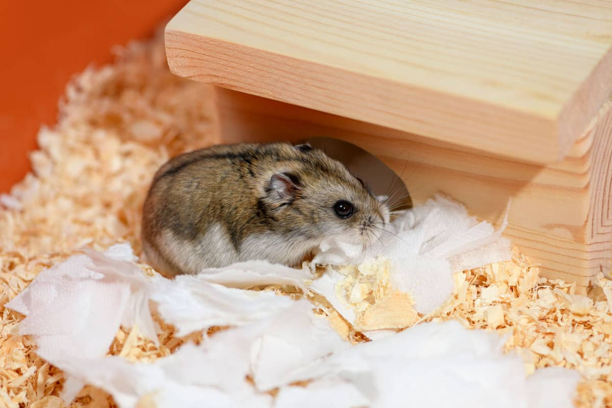 A small cute hamster chewing tissue paper
