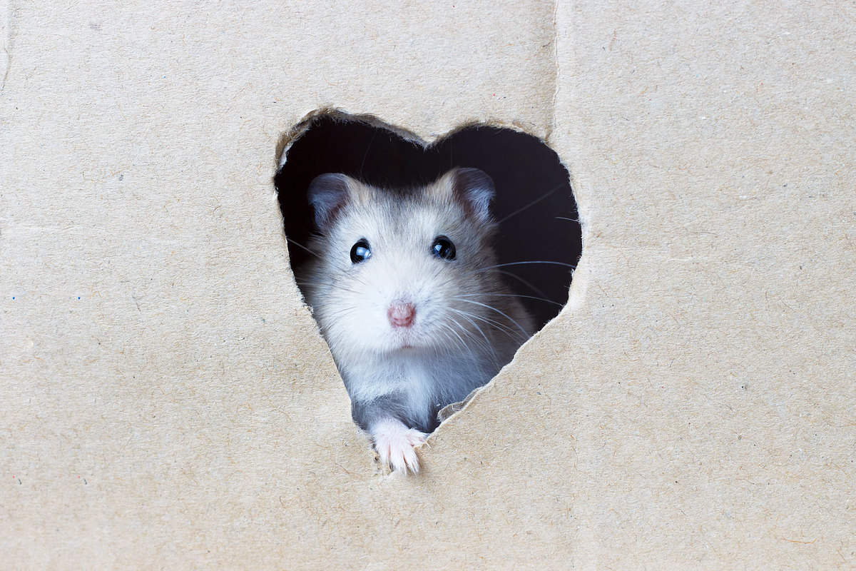 A small cute hamster peeping out of his heart shaped hole