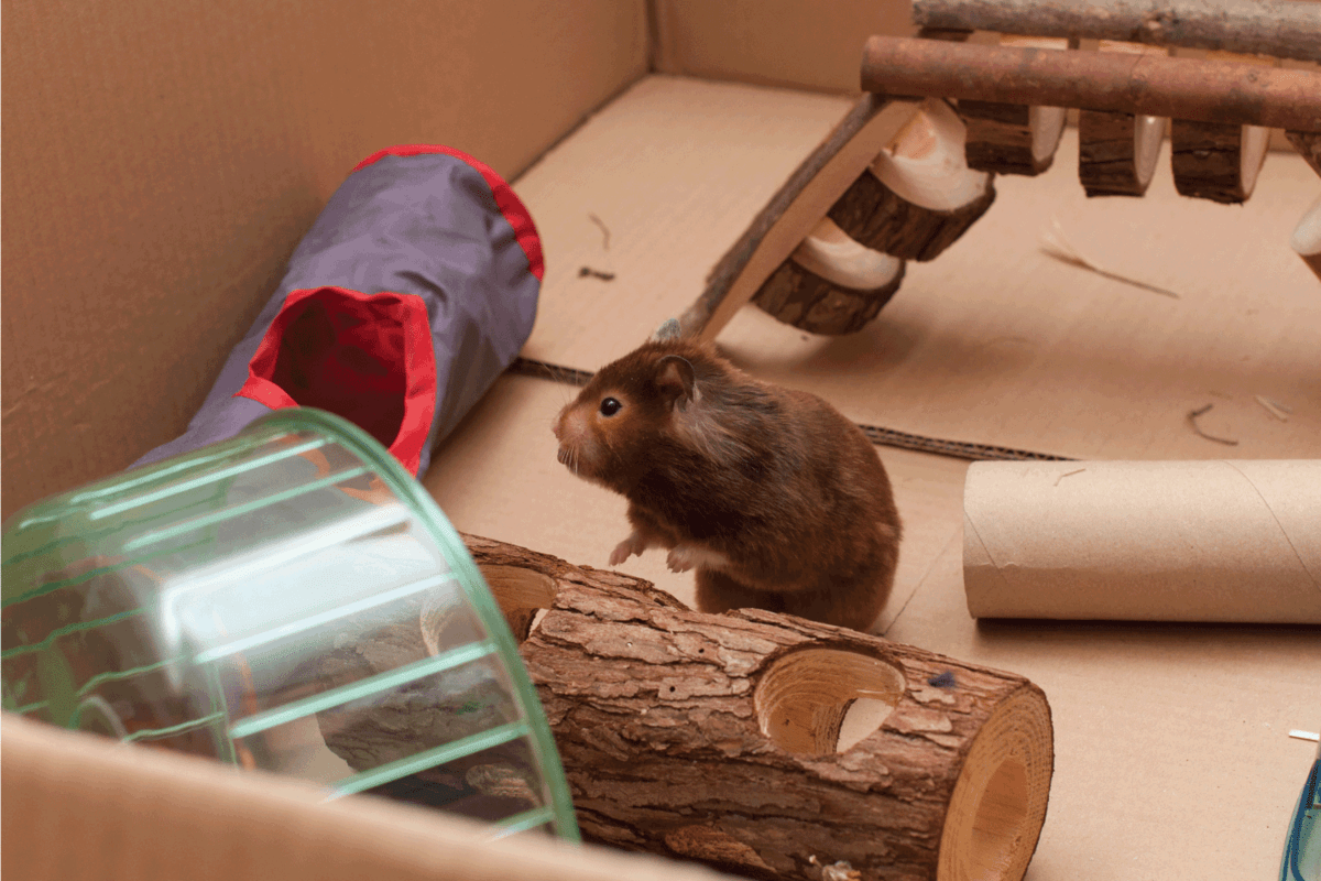 A syrian hamster in its playground in a cardboard box