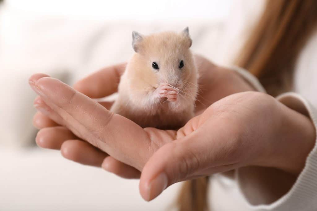 Woman holding cute little hamster indoors, closeup