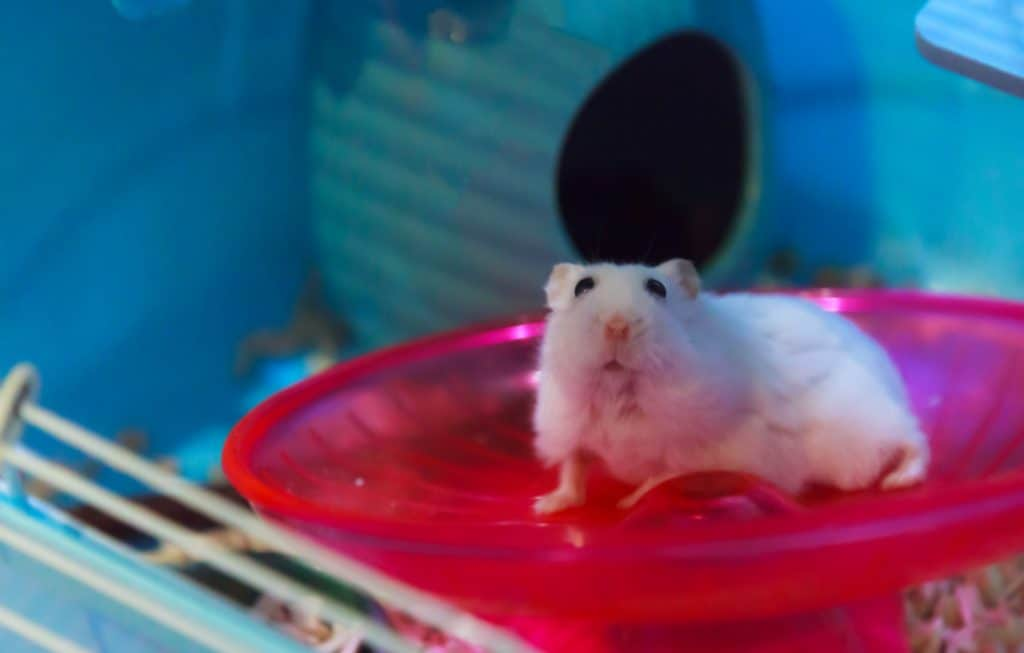 Cute Winter White Dwarf Hamster begging for pet food with innocent face. Winter White Hamster is known as Winter White Dwarf, Djungarian or Siberian Hamster. Pet, Human Friend, Domestic animal concept