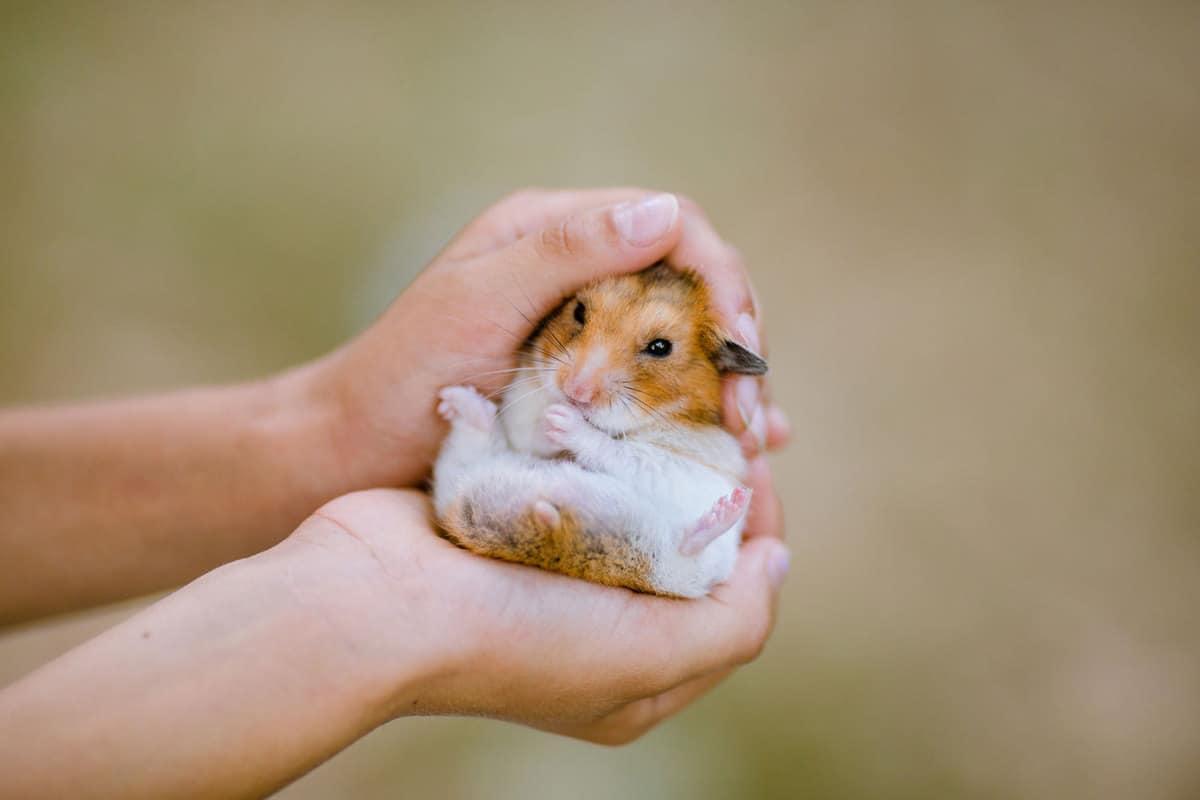 Child hands holding a dwarf hamster