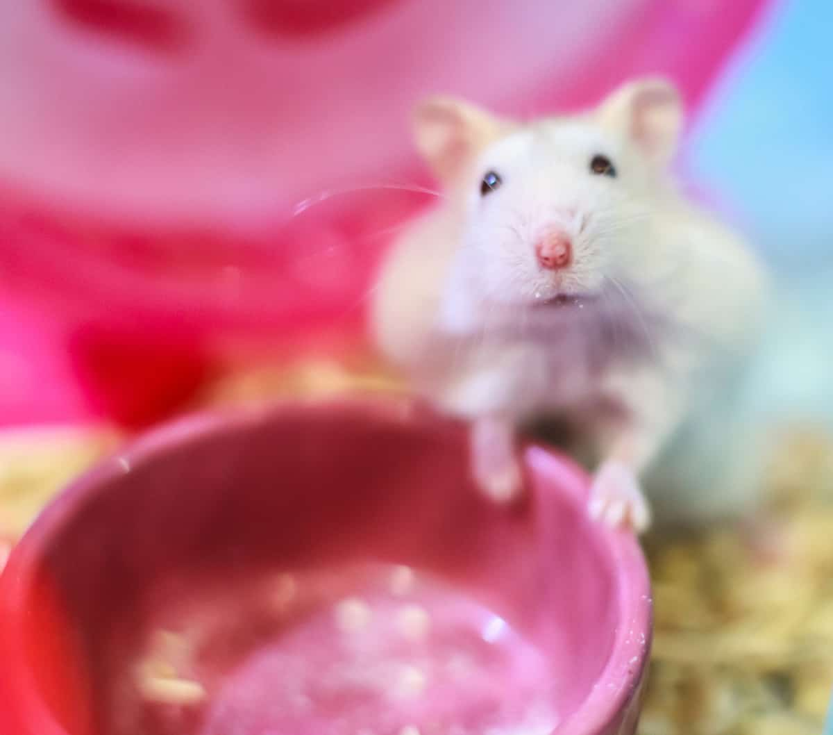 Cute Exotic Winter White Dwarf Hamster standing two legs begging for pet food with innocent face